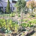 野菜が育ってきました。